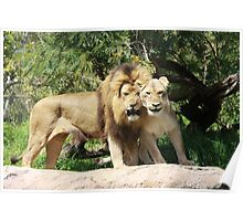 Lion and his Lioness Poster