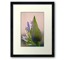 agapanthus I Framed Print