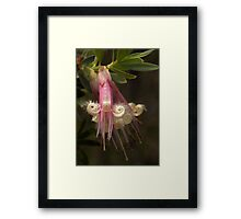 Five Corners (Styphelia triflora) Framed Print