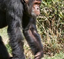 Common Chimpanzee, Pan troglodytes Sticker