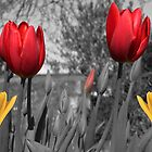 Red and Yellow Tulips by simpsonvisuals
