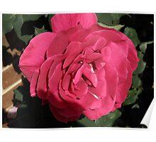 Crimson Velvet Rose Poster