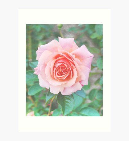Beautiful Pink/Peach Rose Art Print