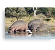 Hippos to Water - WildAfrkia Canvas Print
