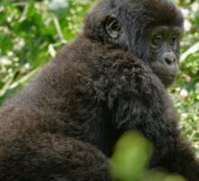 baby mountain gorilla, Bwindi, Uganda Sticker