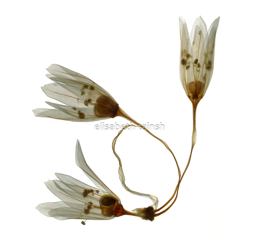 three white flowers by elisabeth tainsh