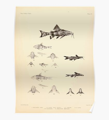 The fishes of India by Francis Day 103 - Amblyceps mangois Erethistes hara Poster