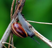 A Beautiful Home For A Snail...........Lyme Dorset UK by lynn carter