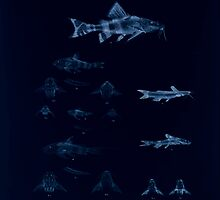 The fishes of India by Francis Day 103 - Inverted - Amblyceps mangois Erethistes hara by wetdryvac