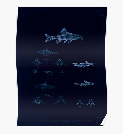 The fishes of India by Francis Day 103 - Inverted - Amblyceps mangois Erethistes hara Poster
