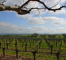 SANTA YNEZ VALLEY VINEYARD by fsmitchellphoto