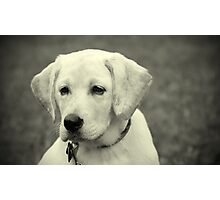 Yellow lab puppy Photographic Print