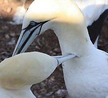 Gannets Preening by Agood