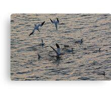 Diving Gannets Canvas Print