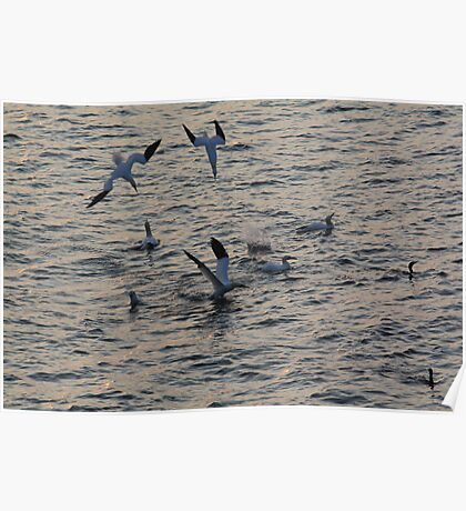 Diving Gannets Poster