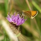 Small Skipper 05 by Sharon Perrett