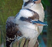 Laughing Kookaburras, Queensland, Australia by Adrian Paul