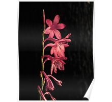 South African Wild Orchid Poster