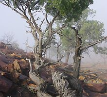 White cypress pine in morning fog Mutawintje National Park by MicheleK