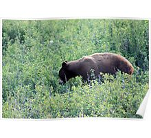 Waterton Grizzly Poster