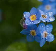 Raindrops on forget-me-nots by Morag Anderson