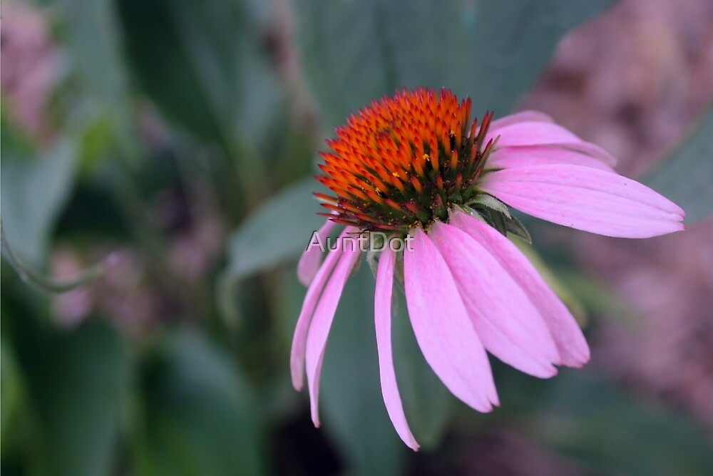 Purple Coneflower by AuntDot