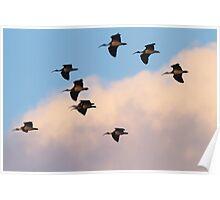 Dusk Ibis Poster