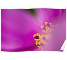 Cosmea Flower  Poster