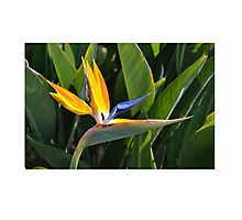 Tropical Flower Photograph Photographic Print