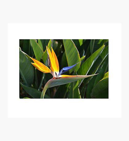 Tropical Flower Photograph Photographic Print