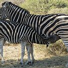 Female zebra and foal by Elizabeth Kendall