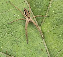 Nursery Web Spider by kernuak