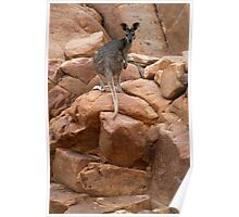 Curious rock wallaby in Nitmiluk Gorge, Katherine, Northern Territory Poster