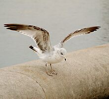 Seagull by bkphoto
