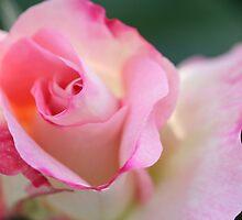 Delicate pink petals by Melani