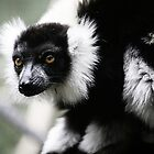 Black &amp; White Ruffed Lemur by caradione