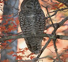 Spotted Owl, (Mexican sub-species), Strix occidentalis by tonybat