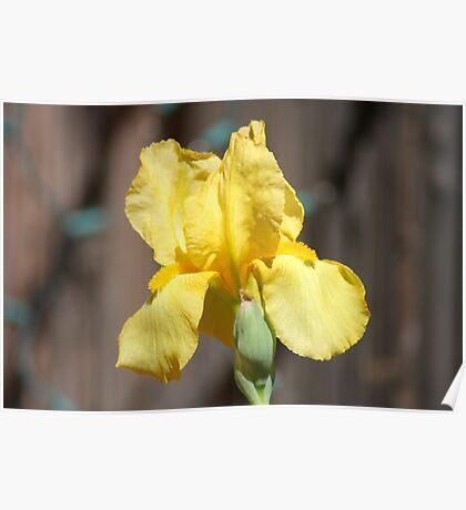 Bright Yellow Iris bloom Poster