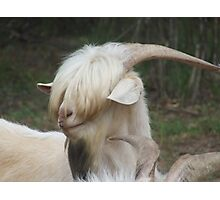 The shaggy Goat Photographic Print