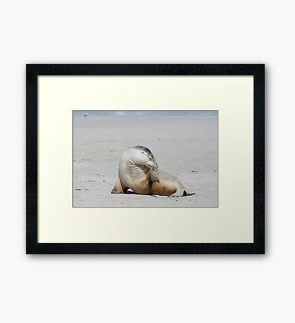 Sea lion at Kangaroo Island, South Australia Framed Print