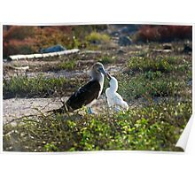 Blue Footed Booby feeding the baby Poster