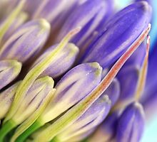 Agapanthus Buds by Renee Hubbard Fine Art Photography