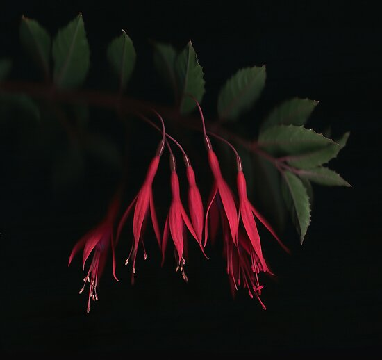 Fuschia by Brian Haslam
