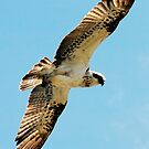 Osprey overhead- eyeing each other off by bobbyverrills