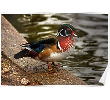 Wood Duck Poster