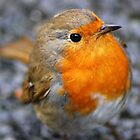 'dartmoor robin' by DaveButt