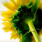 Sunflower - Impressions in Yellow by cfu123