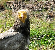 Egyptian vulture by Marieseyes