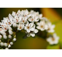 White bower Photographic Print