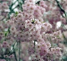 Cherry Blossoms in the New York Botanical Garden by SylviaS